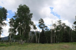Tall Aspens surround the meadow.