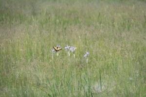 A butterfly on wild Iris.