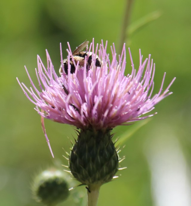Flag Hike- thistle and bee-1-2